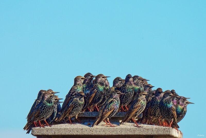 photo, Instinct-photo, Daniel, oiseau, sansonnet, troupeau, escadrille